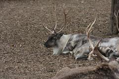 Reindeer (cmlburnett) Tags: wisconsin reindeer zoo milwaukee caribou milwaukeezoo milwaukeewisconsin rangifertarandus rangifer tarandus