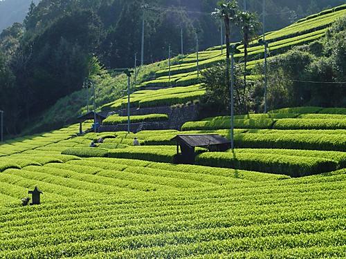 川根 茶畑