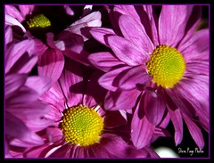 Triplets! (iTail ~ Steve Page) Tags: pink flower color nature beauty yellow soe cubism itail fantasticflower abigfave platinumphoto anawesomeshot ultimateshot theunforgettablepictures goldstaraward wonderfulworldofflowers 100commentgroup