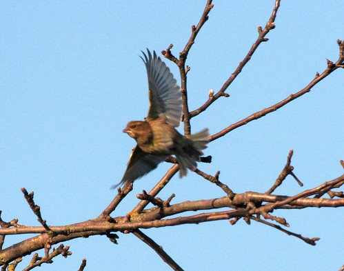 Chaffinch taking off