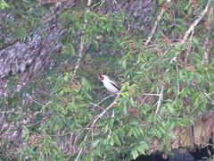 Masked Tityra in Tikal (benyeuda) Tags: bird nationalpark wildlife birding tikal birdwatching exoticbird peten beautifulbird tityrasemifasciata tikalnationalpark mayanbiosphere reservabiospheramaya