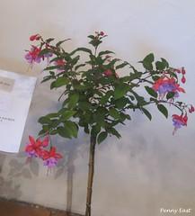 Fuchsia 'Heidi Ann' Penny (pennyeast) Tags: show flower nature southafrica fuchsia capetown 2008 onagraceae wcfs papaalphaecho
