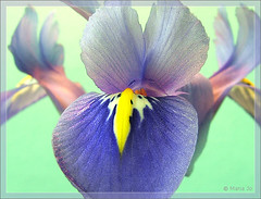 Iris uit een potje #3 (okkibox) Tags: iris flower fleur blume blueiris 2009 bloem otw artistimpression mywinners citrit goldstaraward awesomeblossoms vosplusbellesphotos okkibox