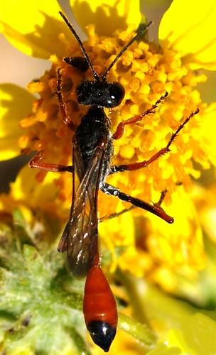 Amophila sp., Thread-waisted Wasp
