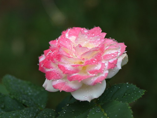 Pink Rose with water-droplets