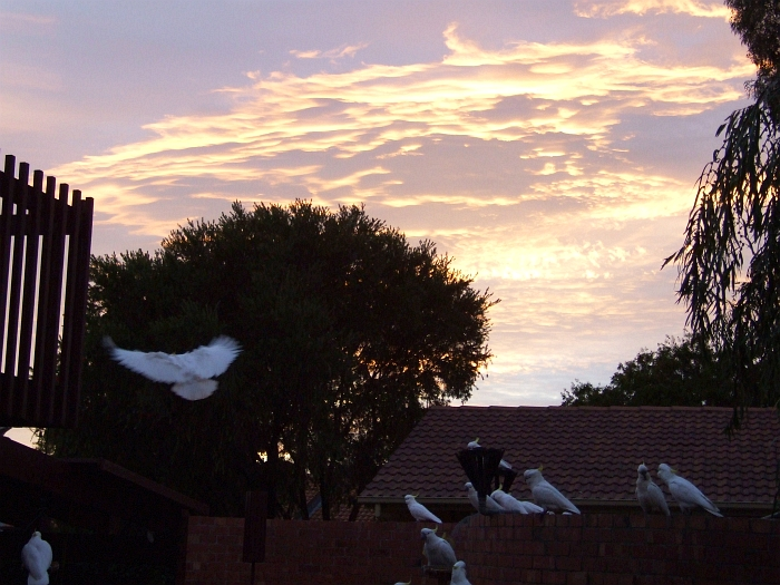 cockatoos at sunrise