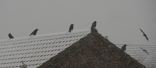 Rooks in a Blizzard