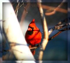 Perched in Light & Shadow (mightyquinninwky) Tags: blue red orange brown sunlight white black tree male bird eye feet nature fauna rural geotagged wings flora backyard shadows dof mask cardinal bokeh kentucky framed branches gray beak feathers crest depthoffield bark ave perch mirrored perched birch limbs invite backyardbird smalltown orton invited lateafternoonsun redbird westernkentucky postprocessing northerncardinal malenortherncardinal biege riverbirch unioncountykentucky ohiorivervalley whitebark edgeoftown backyardnature backyardfauna avianphotography ruralkentucky morganfieldkentucky backyardflora geo:lat=376931 kentuckynature fbdg maleredbird thecommonwealthofkentucky nativekentuckyflora smalltownkentucky nativekentuckyfauna thebluegrass nativekentuckybird geo:lon=87905425 likeinhiseye bestofformyspacestation