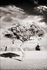 Castillo Tree HIE (Jamie Powell Sheppard) Tags: blackandwhite bw tree art film clouds ir photo florida nps fort fineart canonae1program staugustine sepiatone 35mmslr femalephotographer hc110dilb castillodesanmarcosnationalmonument 29darkredfilter kodakhiebwinfrared