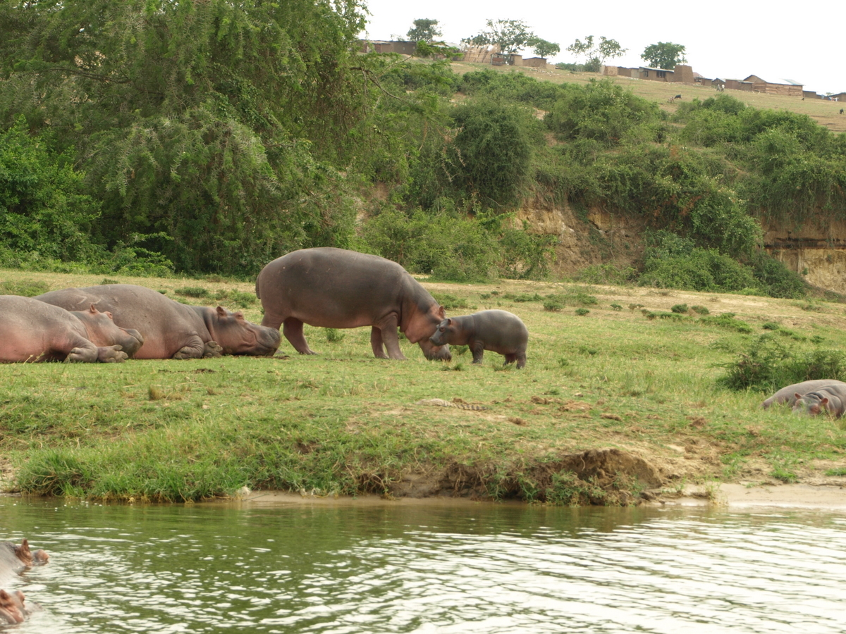 Baby Hippo and Mother III