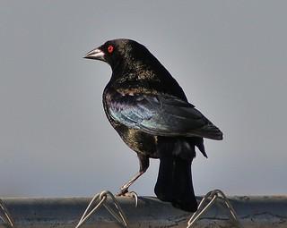 Bronzed Cowbird, Molothrus aeneus