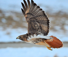 Red-tailed Hawk (JRIDLEY1) Tags: winter fab snow ice soe redtailedhawk 80400vr supershot zenfolio mywinners abigfave anawesomeshot colorphotoaward brightonmichigan theperfectphotographer nikond3 vosplusbellesphotos jridley1 jimridley photocontesttnc09 dailynaturetnc09 httpjimridleyzenfoliocom photocontesttnc10 lifetnc10 jimridleyphotography photocontesttnc11 photocontesttnc12