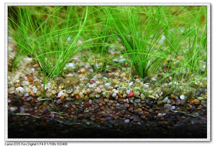 底砂上的黑毛藻