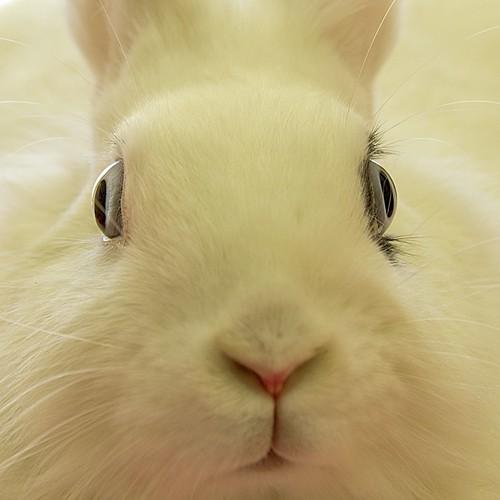 Zoom Conejo blanco