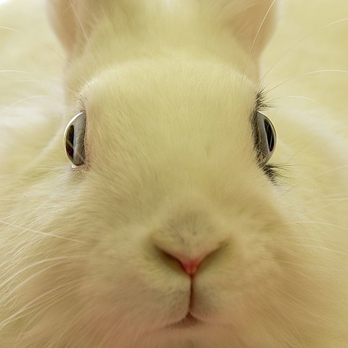 Thumb ZOOM al conejo blanco
