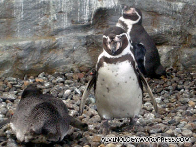 Group of Humboldt Penguins