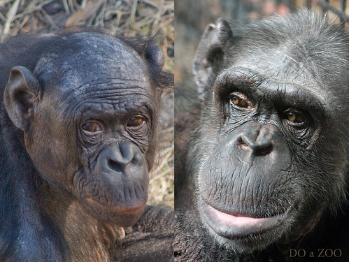 Bonobo & Chimpanzee Mother Comparison by Sloth-in-a-Box (DOaZOO).