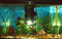 10 gallon fishtank (LiLBean01) Tags: aquarium fishtank neontetra whitecloud platty 10gallonfreshwateraquarium