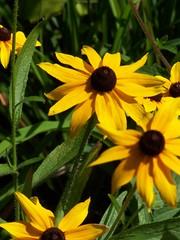 Yellows (agent j loves nyc) Tags: flowers summer flower yellow flora rudbeckia blackeyedsusan flowerid daisyshape howtoidentifyflowersbyphoto identifyflowerbyphoto floweridentifier floralid