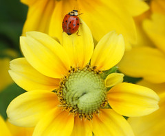 A ladybug visited today (conniee4 aka Connie Etter) Tags: flower sony ladybug flowerscolors a350 1870lens thisphotorocks macroflowerlovers flickrflorescloseupmacros
