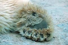 Polar Paw (Nikon~Dolll) Tags: bear zoo paw md bears maryland baltimore polarbear polarbears marylandzoo