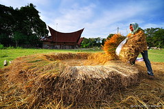 Rice harvest in samosir, Danau Toba (Johnny Siahaan) Tags: sunset sky nature water beautiful sunrise sumatra indonesia photo amazing nikon asia tour photos human stockphotos adat bestshot laketoba stockphotography samosir gembala beautifullandscape solu traveltravel photostock danautoba sumaterautara sellphotos tobalake interestinglandscape rumahadat indonesianphotographer sumatratravel visitindonesia fiveprime danaubiru pestadanautoba horbo visitsumatra tujuanwisata johnnysiahaan tobalife kehidupantoba rumabolon parmahan kawasandanautoba bataklife kehidupanbatak orangbatak sumatratourism northsumatratourism sumatraecotourism fotodanautoba photodanautoba