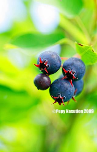 Saskatoon Berries 2