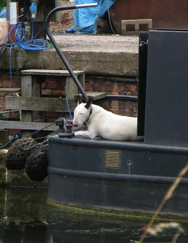 Dog in charge of narrowboat par bryanilona