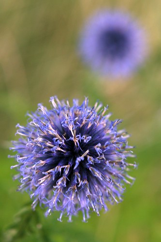 purple-thistle-globes