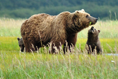 Mommy, can I have some?  Brown Bear Family (Len Radin) Tags: brown nature alaska bar oso homer ursus urso radin orso brownbear outpo