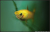 Guppy. (Jonathan|Campos) Tags: light shadow fish green yellow female swimming swim photoshop mouth dark golden wings eyes shine little kodak edited small mother tiny cropped curious sparkly guppy fins opteka livebearer z1012 anarachis
