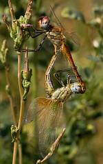 Keep holdin' on.. (Lookaloopy) Tags: macro canon eos dragonfly sigma libellule libellula 70300 naturalmente accoppiamento 450d