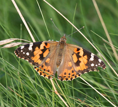 The Summer of the Painted Lady: 2009 (Jacqui Herrington:) Tags: nature insect scotland fife wildlife lepidoptera 2009 kingsbarns paintedladybutterfly