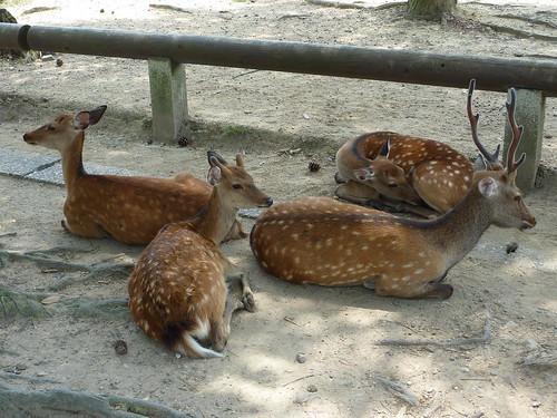 Cervatillos - Nara