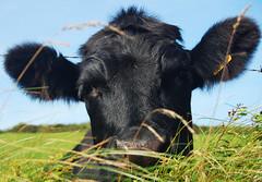amoozement (GuyBerresfordPhotography.co.uk) Tags: cow stdavids