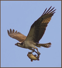 Osprey with the catch of the day (Phil Armishaw) Tags: park wild copyright fish ontario canada birds burlington phil lasalle 2009 raptors osprey armishaw