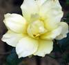 Pale Yellow World (Reinalasol) Tags: flowers flores flower nature petals flora flickr flor april panama 2009 minimalist ecu petales april2009 panama2009 reinalasol