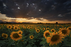 Rays of Light (Lightvision []) Tags: travel flowers light sunset summer vacation sky sun mountain plant storm tourism nature beautiful field clouds sunrise canon landscape spring colorado dusk farm longmont farming seasonal harvest scenic boulder beam scenary crop sunflowers co rays agriculture sunrays abundance tranquil sigma1020mm anawesomeshot lightvision canonxsi alemdagqualityonlyclub