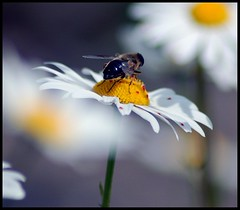 I will just sit here and watch the world go by...... (Levels Nature) Tags: macro nature daisies insect dof bokeh somerset daisy hoverfly
