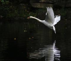Swan lake (Steve-h) Tags: ireland dublin swan wings europa europe eu 15 explore swans swanlake duckpond ststephensgreen steveh comingintoland superaplus aplusphoto canoneos500d superhearts platinumheartaward peaceawards spiritofphotography doubledragonawards canonefs18200mmiszoom
