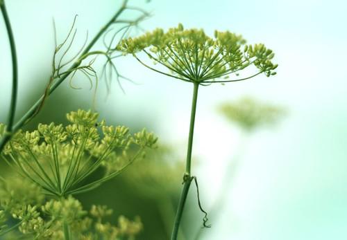 seedhead...