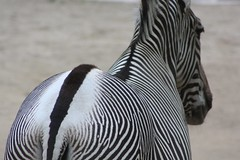 black and white (cc) (marfis75) Tags: white black animal canon zoo tiere blackwhite wiesbaden stuttgart stripes herbst exhibition cc zebra koi sw rcken 2009 muster tier ausstellung stopmotion wilhelma zootier 0909 zootiere hufe ccbysa zoostuttgart platinumheartaward wilhelmastuttgart marfis75 stopandmotion 092009 sreifen marfis75onflickr koinudelbar