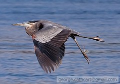 tangled blue heron (fins'n'feathers) Tags: heron maryland stick greatblueheron tangled susquehannariver fishingline weighted conowingodam thewonderfulworldofbirds