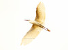 Egret (himank goswami) Tags: park birds canon photography eos architect newdelhi littleegret 500d birdphotography flyingbird birdsofindia indianbirds nzp flyingegret 55250mmis birdphotographyart oberoigroup himankgoswami oberoihotels