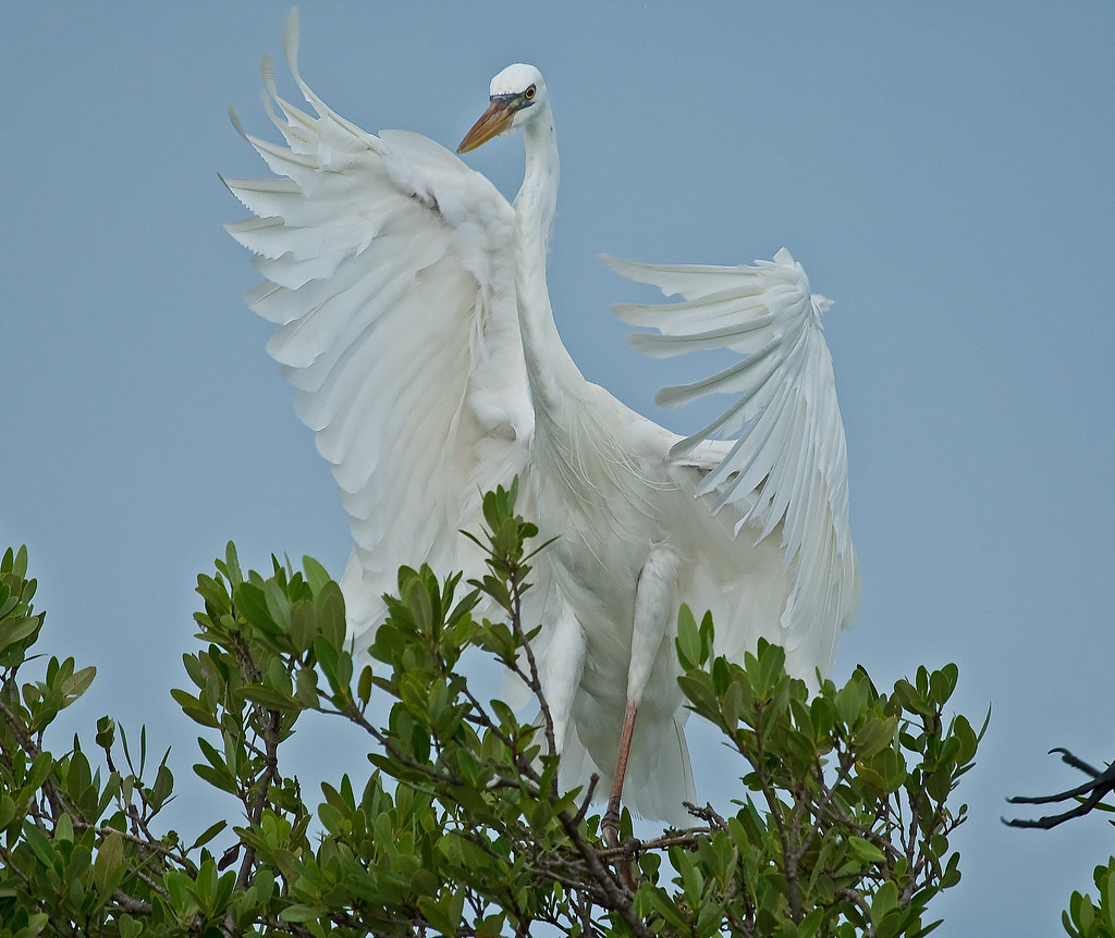 Great White Heron Landing in Mangrove Tree
