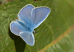 Argus bleu (KaourDen) Tags: life blue france macro nature animal animals fauna butterfly nikon d70s bleu papillon argus commonblue faune argusbleu