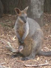 Taronga Zoo 052