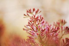 (inhiu) Tags: pink light red plant flower nature beautiful sakura dreamy inhiu