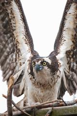 Osprey (GVP #19)