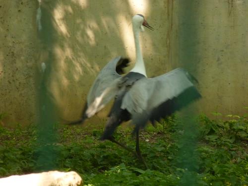 Der lustige, wilde Klunkerkranich -  im Mai im Tierpark Berlin-Friedrichsfelde